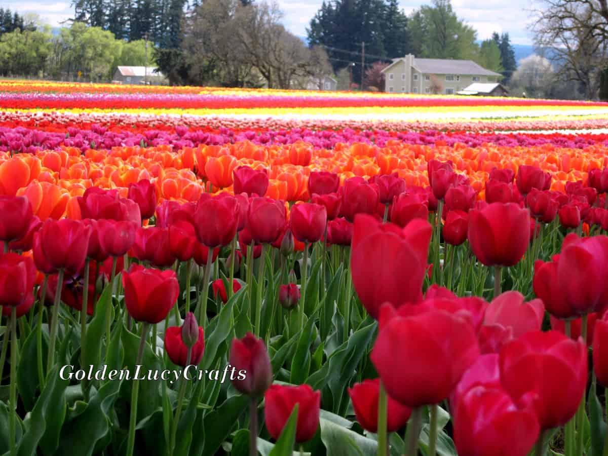Tulip field.