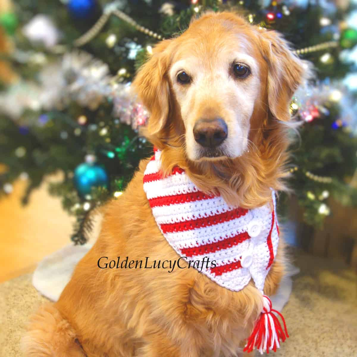 Dog dressed in crocheted candy cane Christmas scarf.