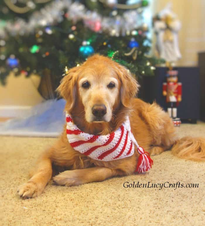 Golden retriever laying in front of the Christmas tree and dressed in crocheted Christmas scarf.