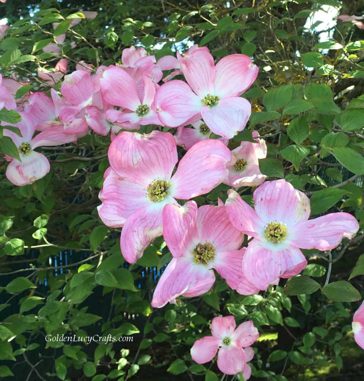 Pink dogwood flowers.