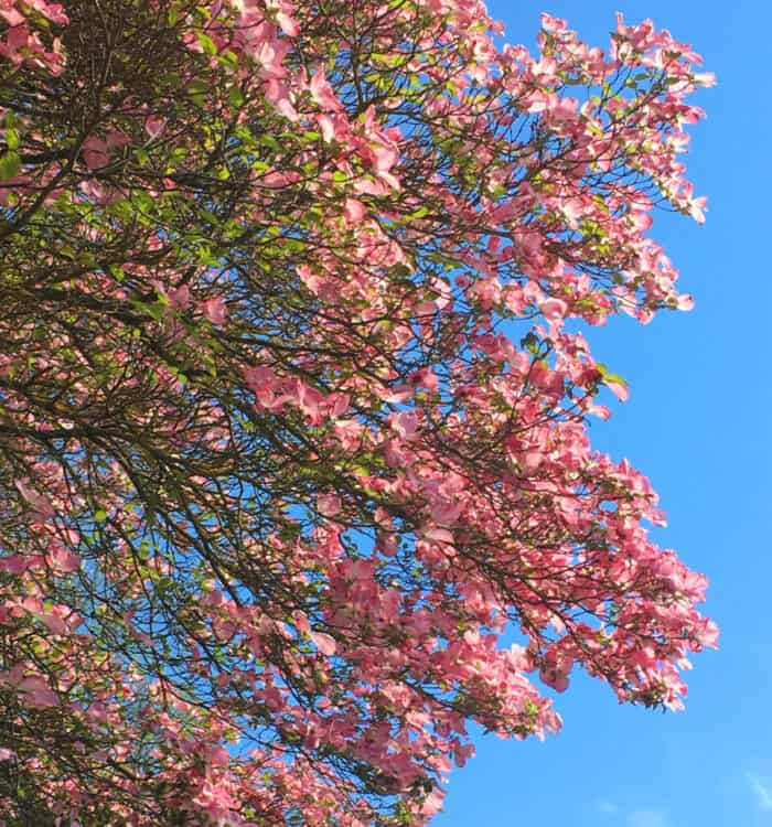 Dogwood tree with pink flowers