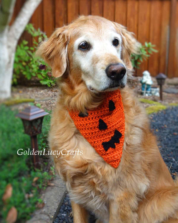 Golden retriever dressed in crochet Pumpkin Face Halloween bandana.