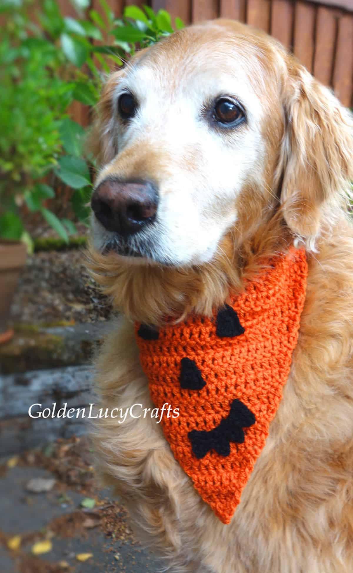 Golden retriever dressed in crochet Halloween bandana