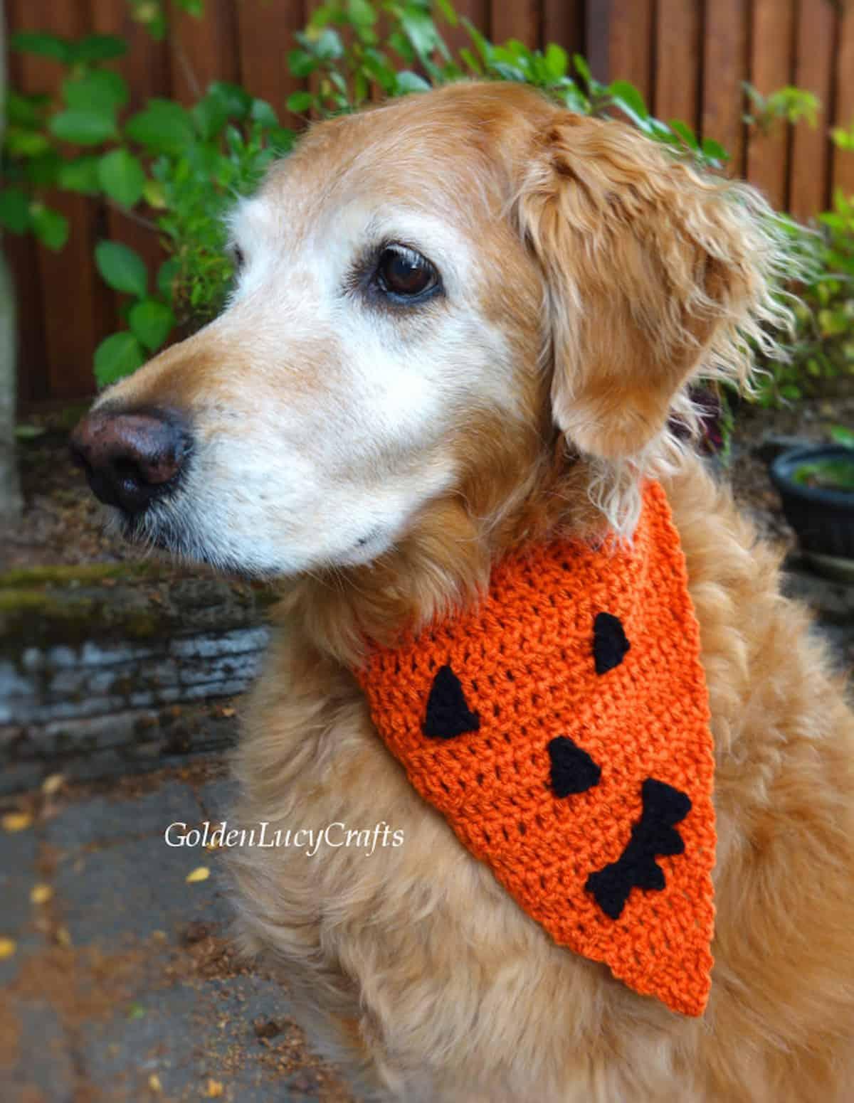Golden retriever dressed in crochet Halloween bandana.