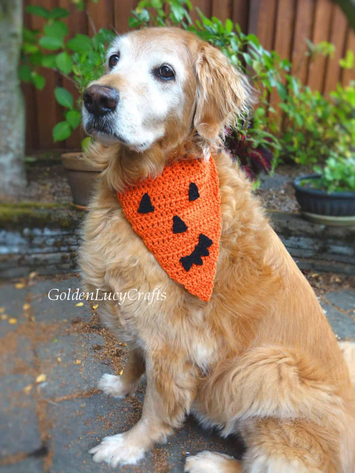 Dog dressed in orange Halloween crochet bandana.
