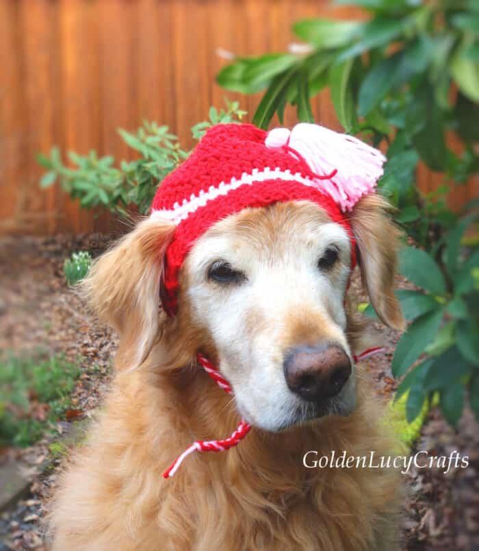 Golden retriever wearing red crocheted hat.