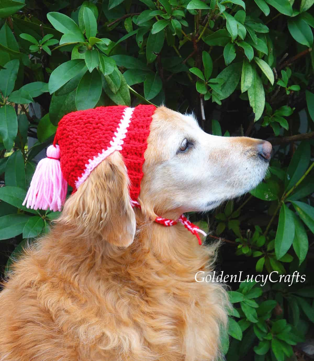 Golden retriever wearing red crocheted hat - view from the side.