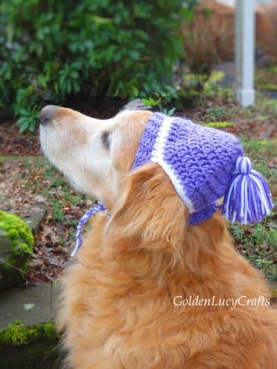 Golden retriever wearing purple crocheted hat.