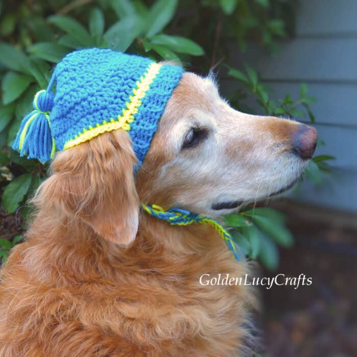 Golden retriever wearing blue crocheted hat.