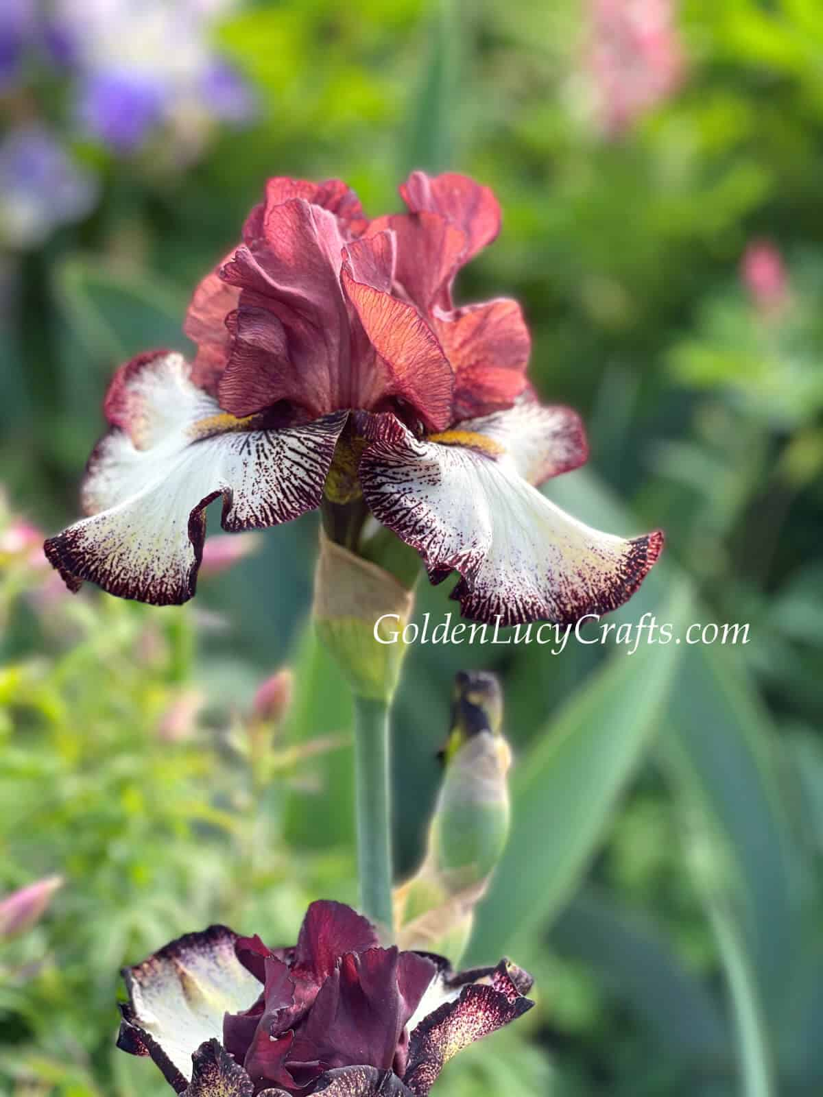 Iris in rusted red color.