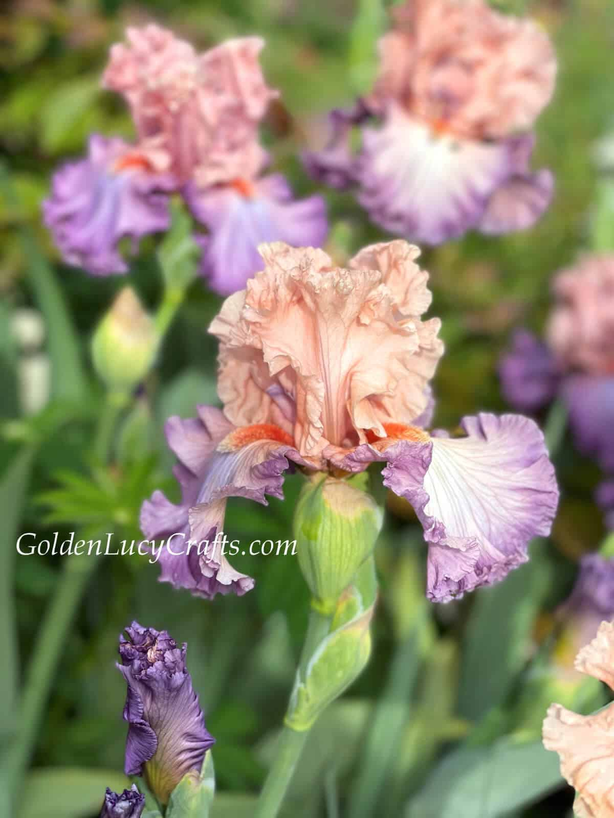 Irises in pale colors.