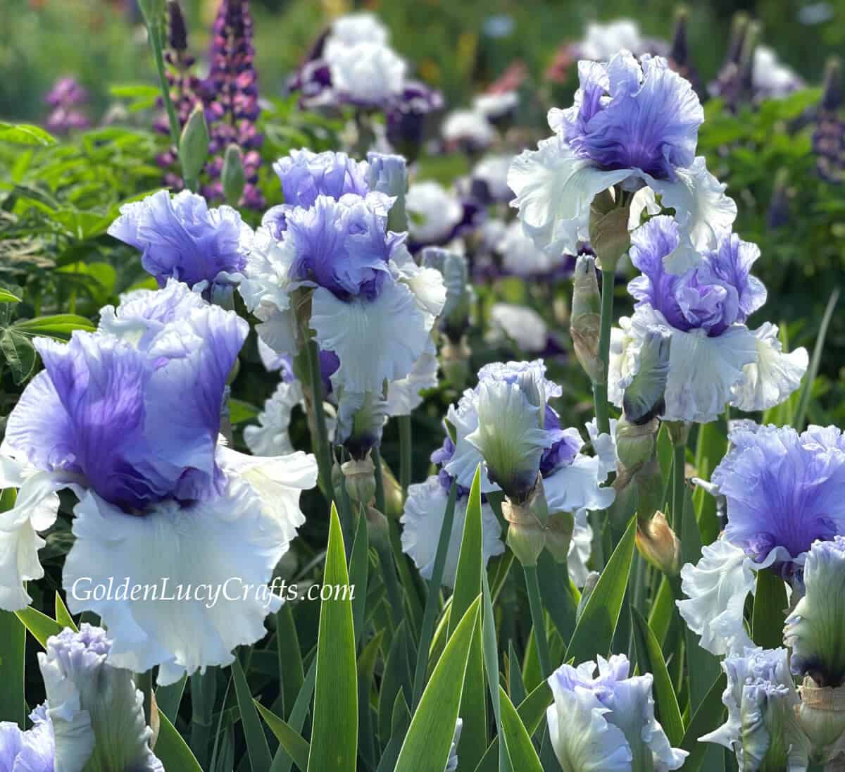 Irises - white lower petals and violet top.