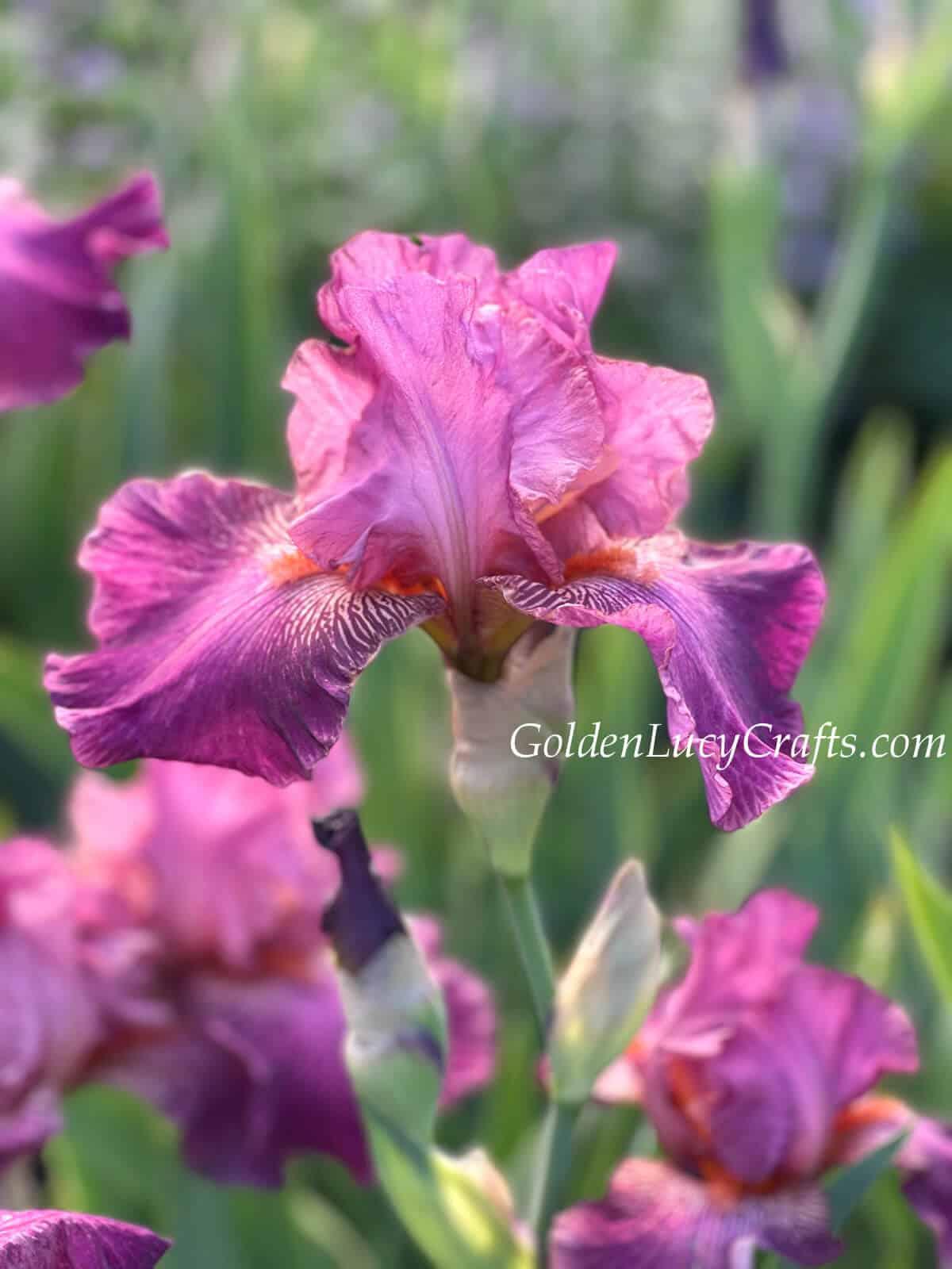 Pink iris.