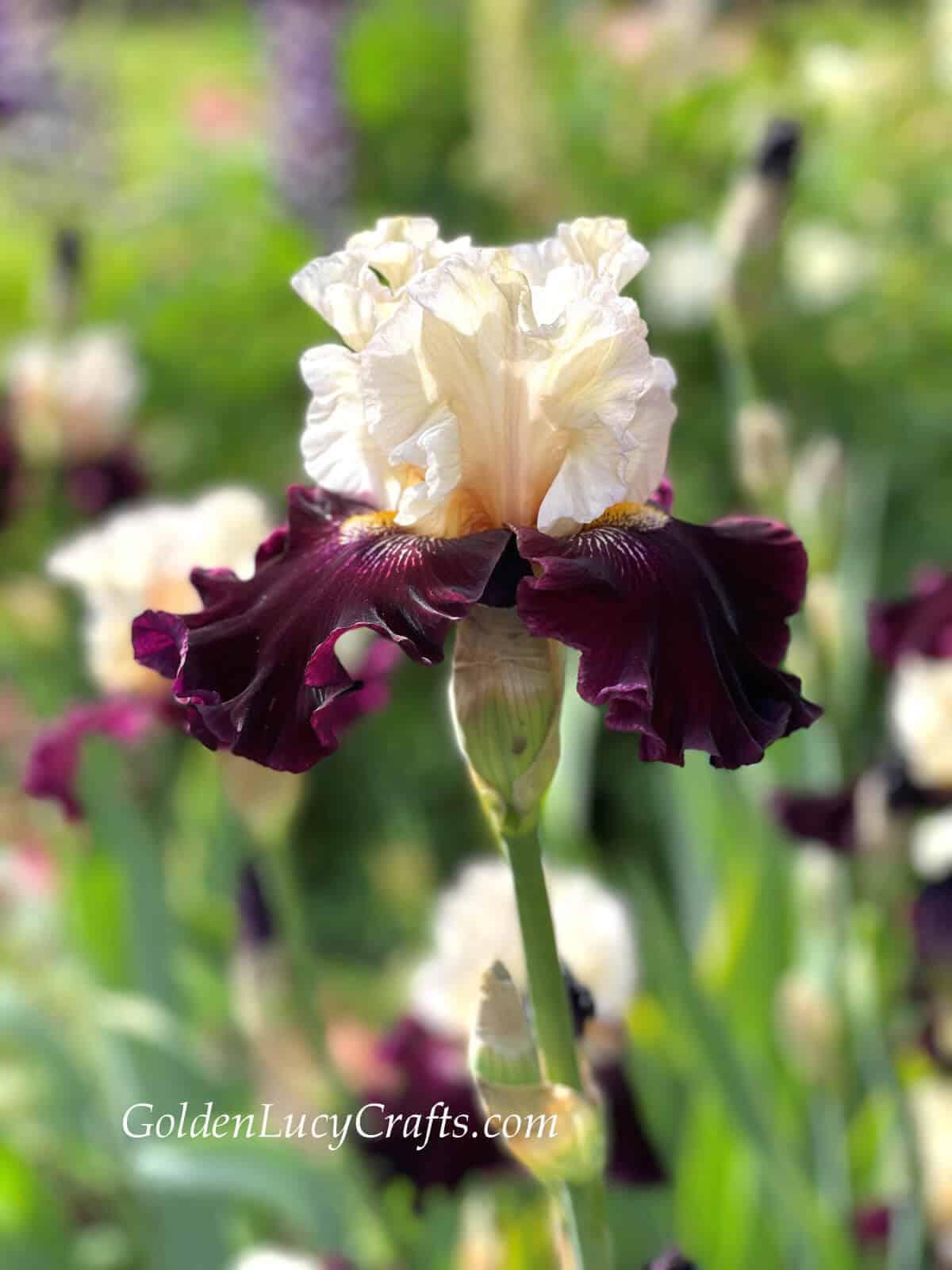 Iris - white top petals and purple lower petals.