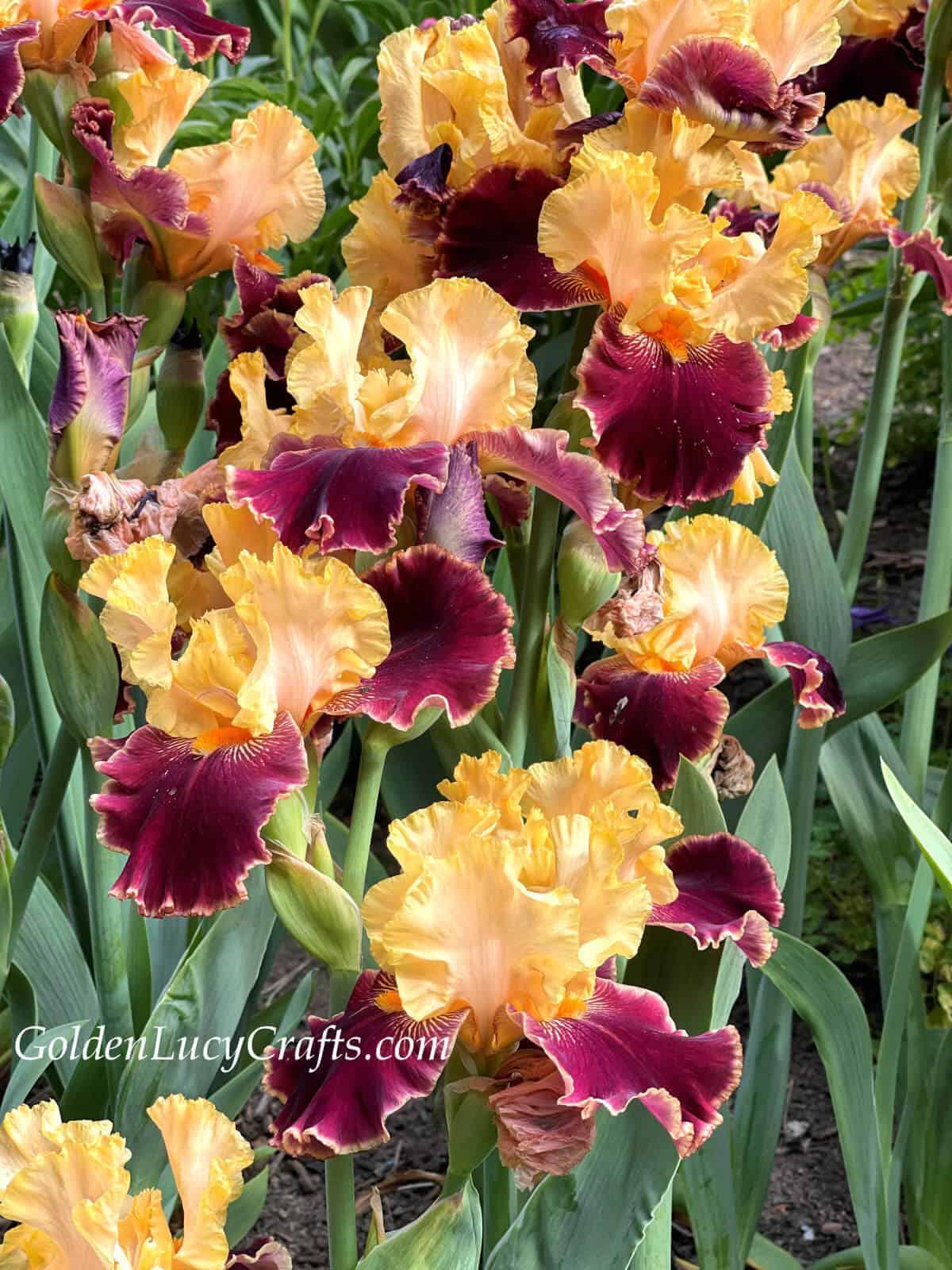 Irises- pale orange lower petals and purple red top.